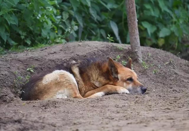 Собака выбирает влажную почву для отдыха